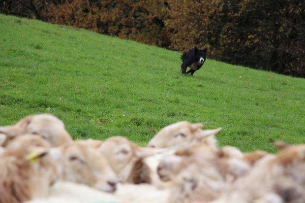 Demonstration DOG SHEPHERD, démonstration de CHIEN BERGER, la vie à la ferme, the farm life